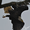 flying with a purpose, a mature Bald Eagle leaving the perch to the water