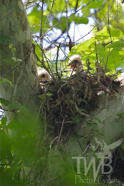 Red-shouldered Hawk hatchlings near Defiance
