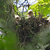 Red-shouldered Hawk hatchlings near Defiance