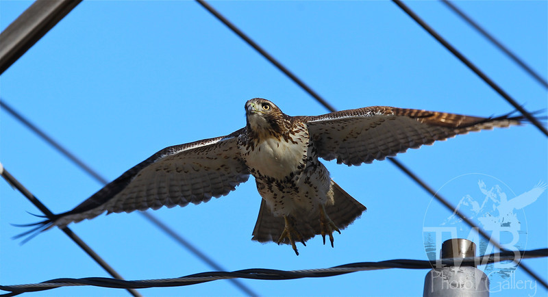 """a Red Tail Hawk under it's own """"power"""""""