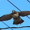 "a Red Tail Hawk under it's own ""power"""