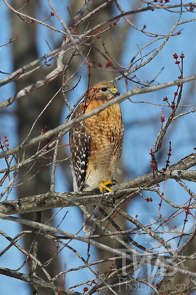 late winter and a Red-shouldered Hawk rests in a early blooming tree