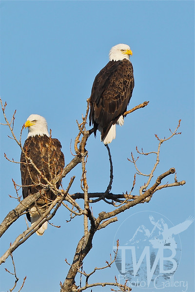 male and female mates, Bald Eagles in Clarence Canon W.L.R.