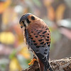 American Kestrel (Sparrow Hawk) looking for prey.