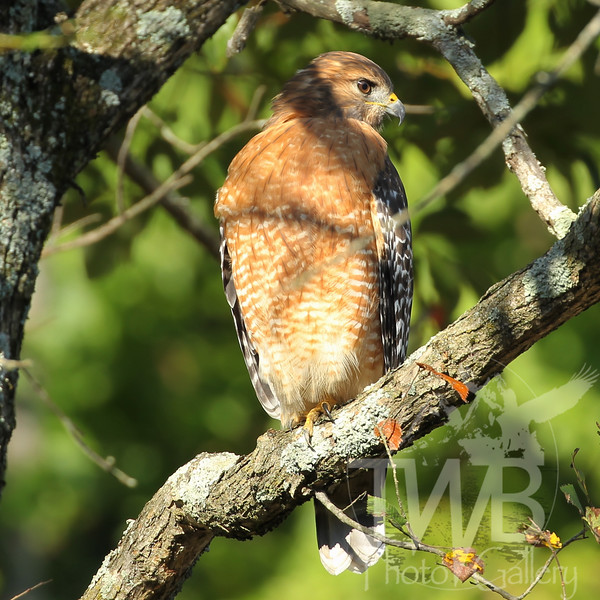 Red shouldered Hawk falling QP
