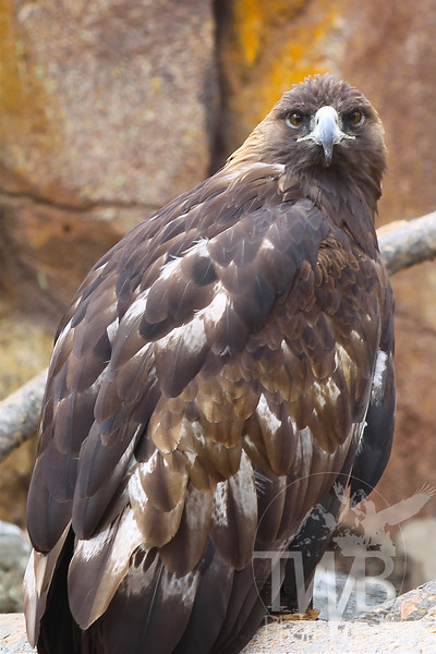 the intense eyes of a Golden Eagle, Wyoming