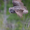 Great Grey Owl evening flight
