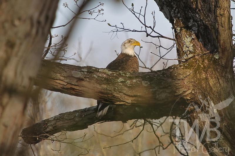 evening sentry, a bald eagle
