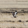 low flying in search of prey, a Prairie Falcon eyes the target