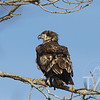 Immature Bald Eagle looking out over the Mississippi River in Clarksville, Missouri