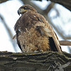 a first year immature Bald Eagle, watching and learning