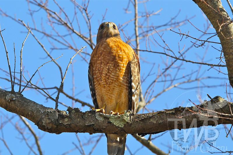 Red-Tailed Hawk Shaw Nature Reserve, Gray Summit, Missouri.