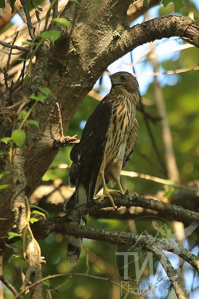 Cooper's Hawk ,low perch in Queeny Park