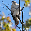 content to perch, a Red Tail Hawk, west of St.Louis