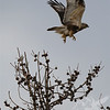 Prairie Falcon in flight, Tetons