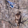Red-tailed Hawk observes a passing Blue Jay.