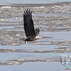 Mature Bald Eagle fishing in the ice flow just below the lock and dam in Clarksville, Missouri.