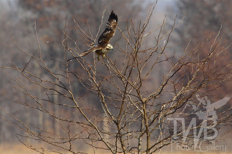 A hawk takes flight in Clarence Cannon Wildlife Refuge.
