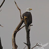 Bald Eagle in the marshlands south of Clarksville, Missouri.