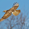 hawk eyes