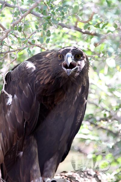 Golden Eagle in the desert of Arizona