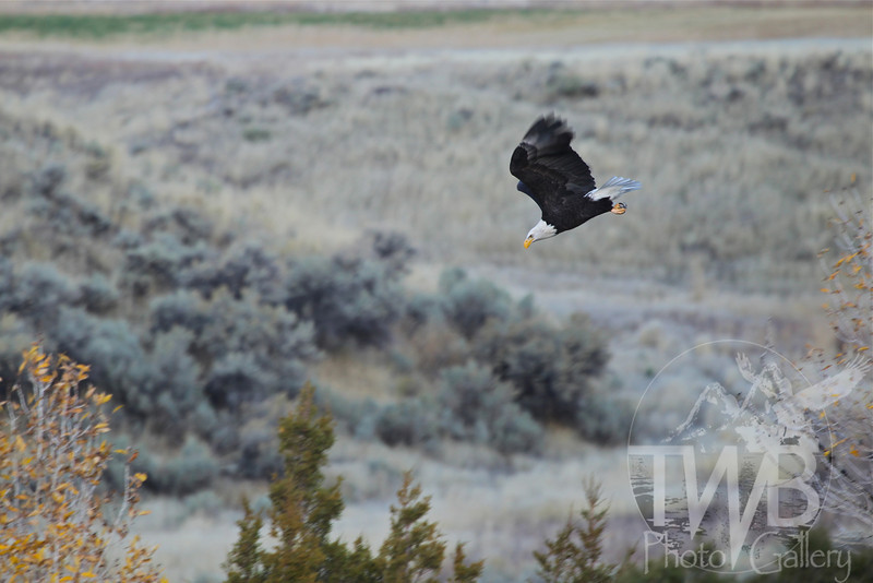in hot pursuit , Bald eagle in a dive toward Yellowstone River