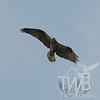 osprey hunting over Forest Park