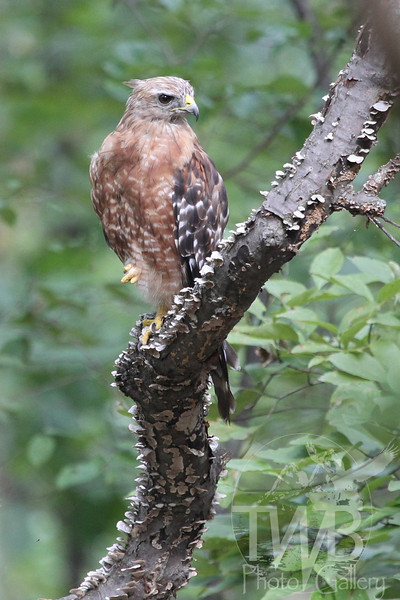 an immature hawk checking out the surroundings