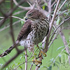 Coopers Hawk looking for prey