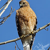 a Red-shouldered Hawk  scouting for food