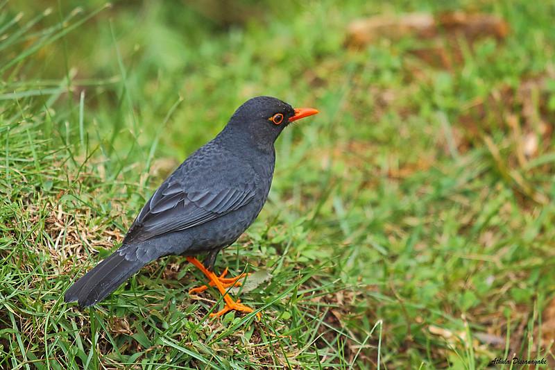 Sri Lanka Black Bird