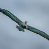 Brown Pelican - Pélican Brun