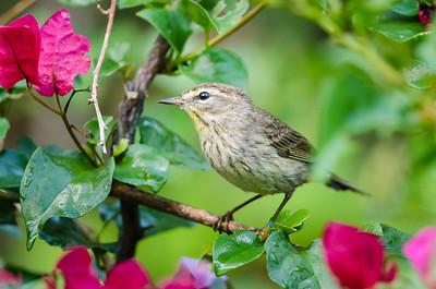 Warbler / Paruline