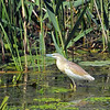 Another beautiful Squacco heron