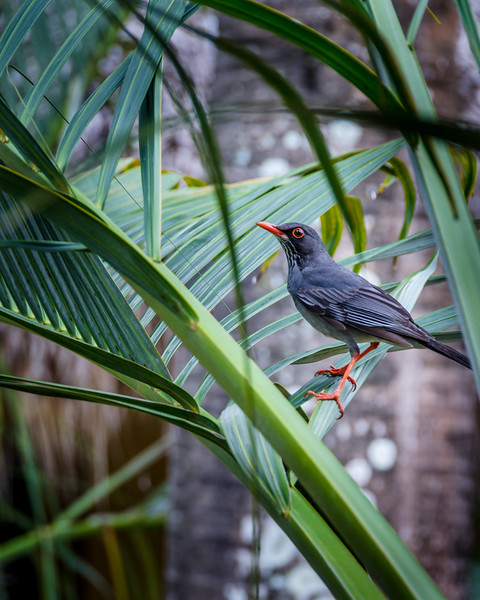Red legged thrush / Merle vantard