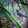 Red legged thrush / Merle vantard
