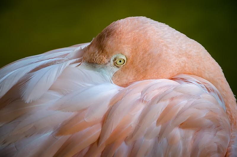 Flamingo / Flamant Rose
