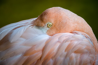 Flamingo / Flamant Rose
