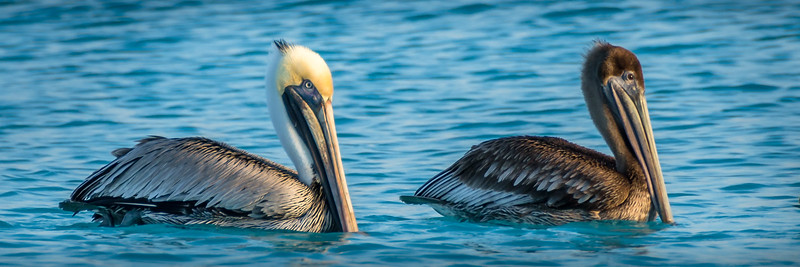 Brown Pelican (Adult and Juvenile) - Pélican Brun (Adult et Juvénile)