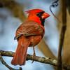 Northern cardinal / Cardinal du Nord