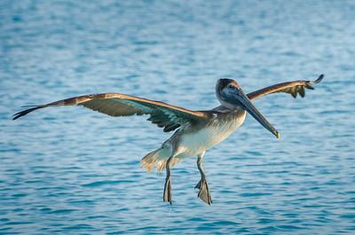 Brown Pelican (Juvenile)  - Pélican Brun Juvénile)