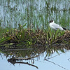 Black headed gull on nesting territory