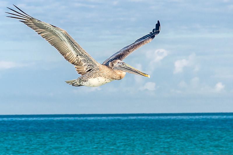 Brown Pelican (Juvenile) - Pélican Brun (Juvénile)