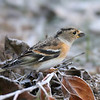 The first Brambling