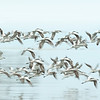 Plovers On The Wing