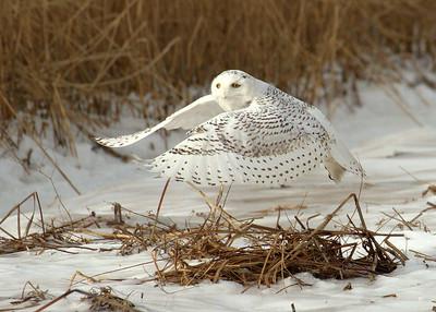 Snowy Owl, Plum Island