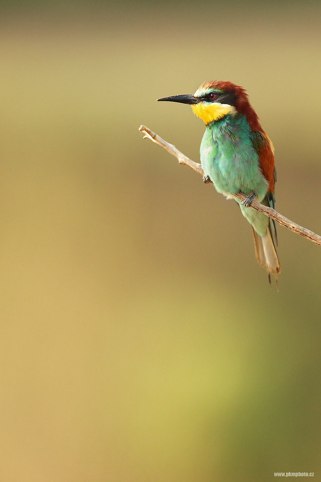 Vlha pestrá / European Bee Eater (Merops apiaster)