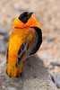 Orange Bishop (Euplectes franciscanus)