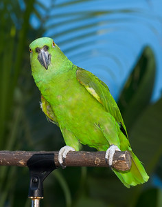 Yellow-naped Amazon (Amazona auropalliata)