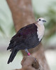 White-throated Ground-dove (Alopecoenas xanthonurus)